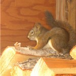 squirrel on the wood pile